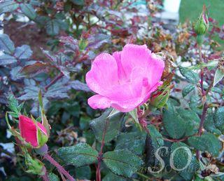 Wm triple dewdrop roses